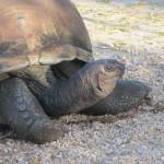 Giant Turtle. Credit: Blair Stewart